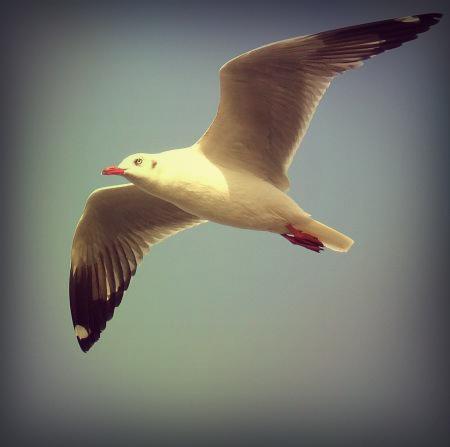 gaviota_en_vuelo