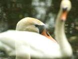 sailing swans1