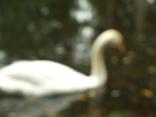 sailing swans2