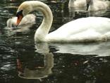 sailing swans3