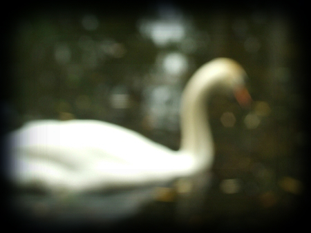 poetry_of_swans